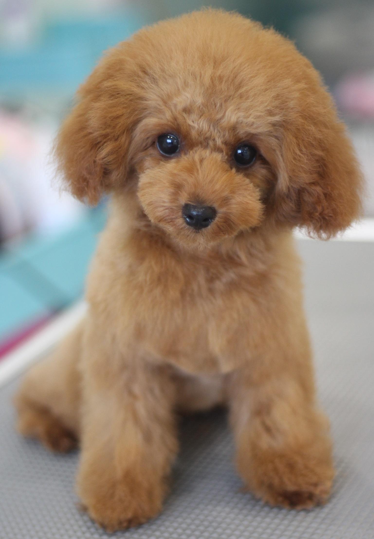 トイプードルの子犬の女の子のカットスタイル