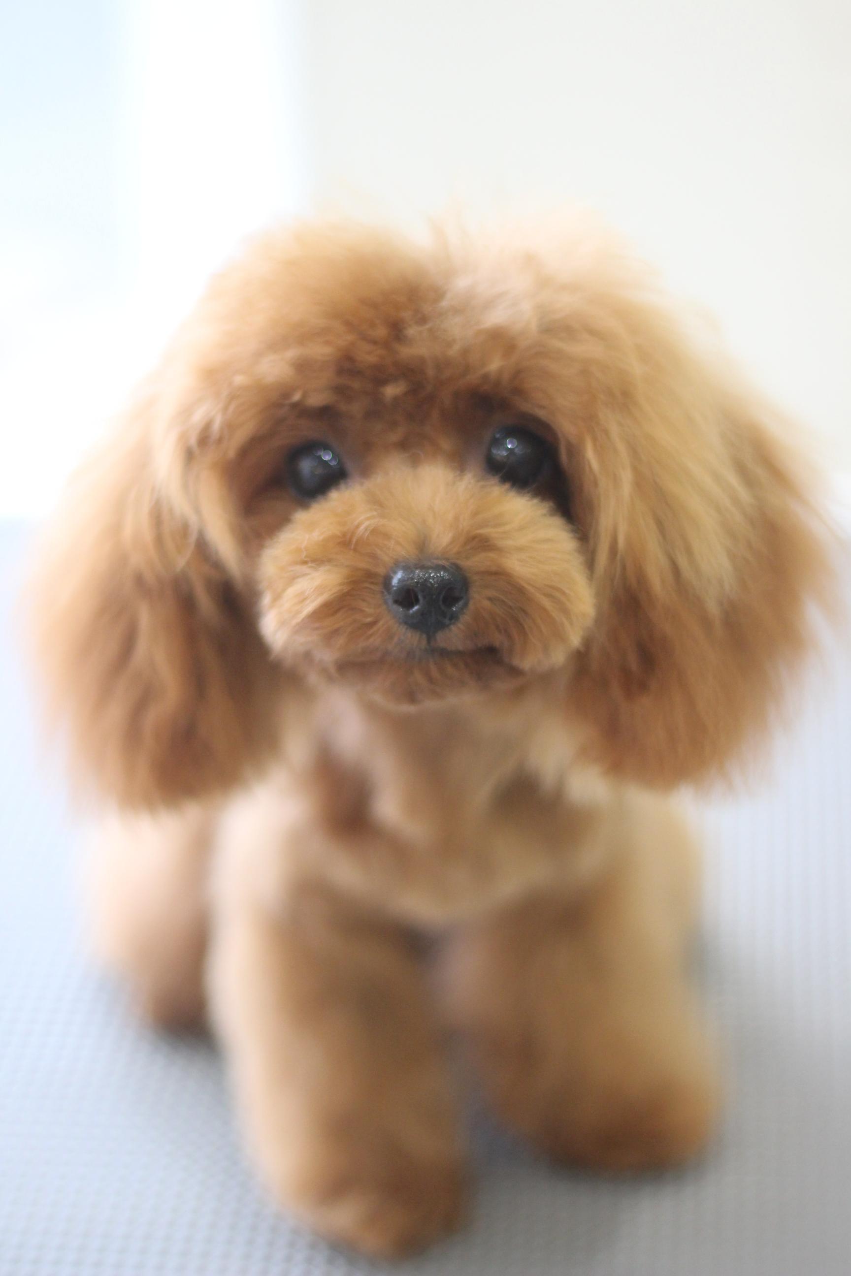 トイプードルの子犬の女の子のかわいいふわふわカットスタイル