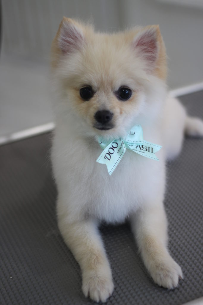 ポメラニアンの子犬のサクラさんのシャンプーカットスタイル
