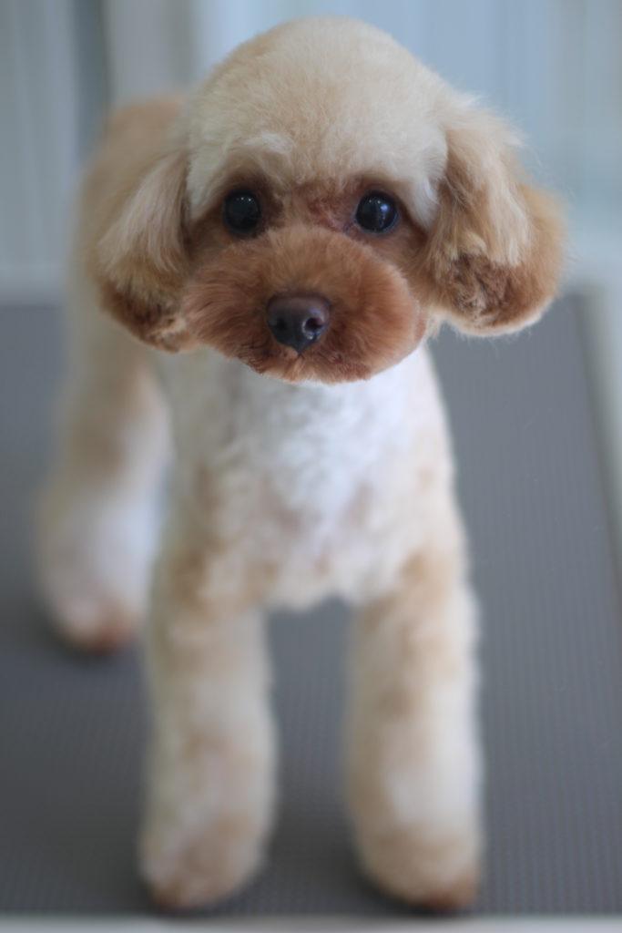 トイプードルのプーさんのテディベアスタイル、子犬風