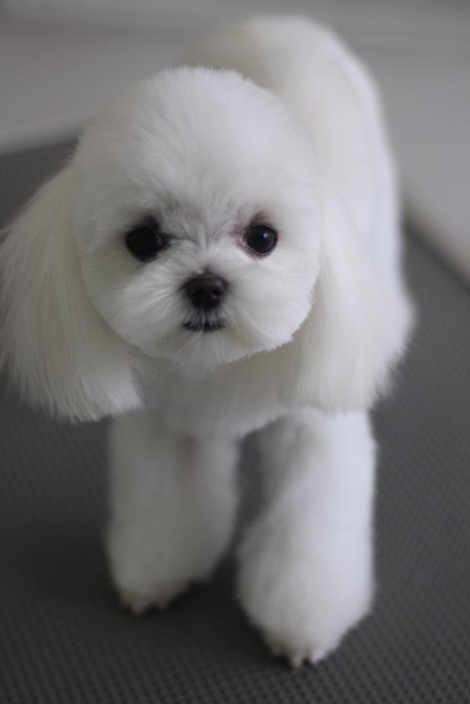 マルチーズの子犬のカットスタイル