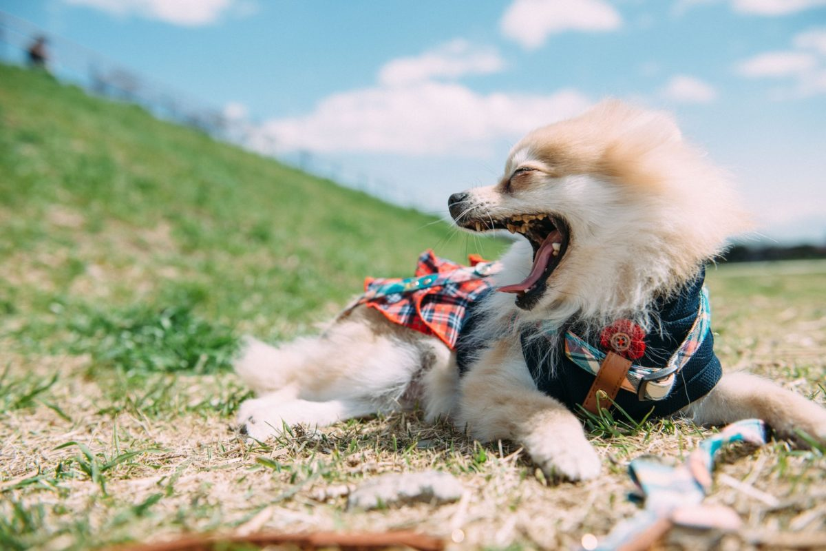 犬の歯磨きと歯周病