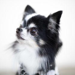 愛犬の涙ヤケの原因と対策、実はココにあった!!