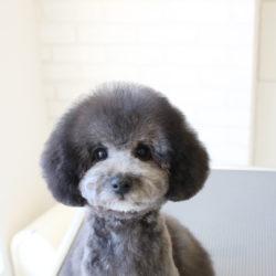 トイプードルのパンツカット☆子犬バージョン☆