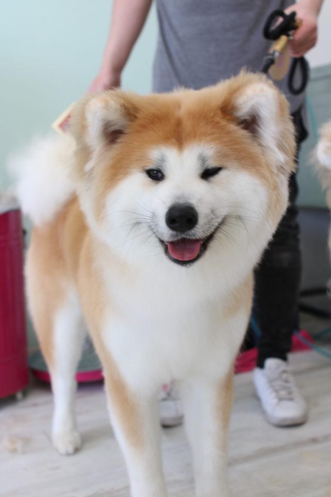 秋田犬のノンさん