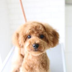 超劇的ビフォーアフター!!トイプードルの子犬、「初めてのトリミング」の巻☆