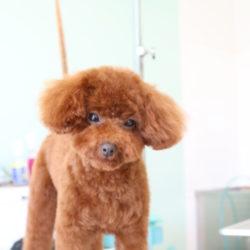 トイプードルのふわふわな子犬かわいいスタイル