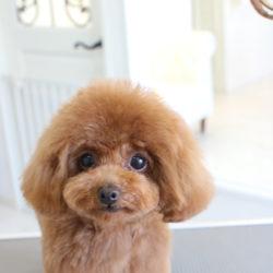 トイプードルの子犬の晴れやかマッシュルームスタイル
