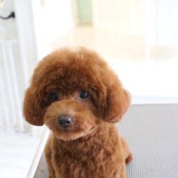 あざとかわいいトイプードルの子犬アフロヘア