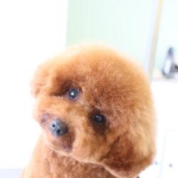 トイプードルの子犬のアフロヘア♪