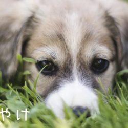 愛犬の目に涙が?!「涙やけ」の原因