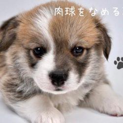 犬はどうして肉球を舐めるの?!