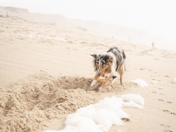 犬の穴掘り