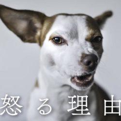 犬はどんな理由で怒るの?!