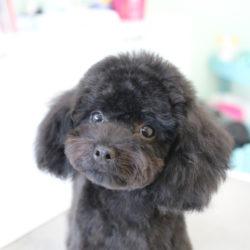 トイプードルの子犬もバッサリカットで短く夏バージョン