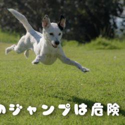 犬のジャンプは危険?!下半身に負担が・・・