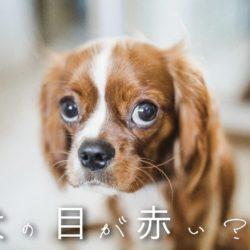 犬の目が赤くなるのはどうして?なにかの病気?!