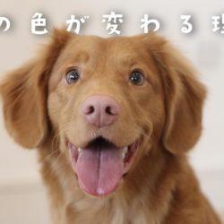 犬の鼻の色が変わる理由。何かの病気のサイン?!