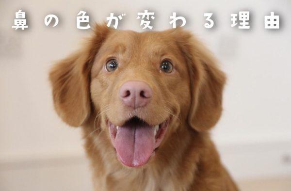 犬の鼻の色が変わる理由