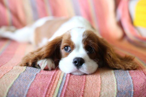 犬の皮膚が伸びる理由